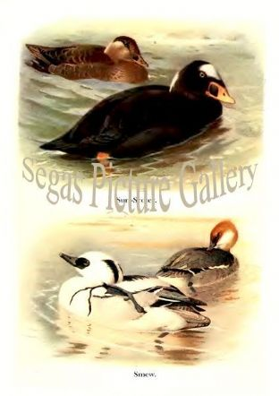 Surf-Scoter & Smew